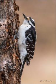 Hairy Woodpecker_DSC3743 Gloria Melnychuk