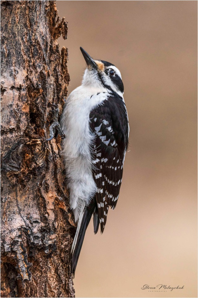 Hairy Woodpecker_DSC3743 Gloria Melnychuk