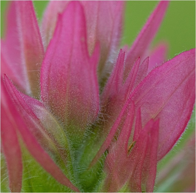 Indian Paintbrush © Larry Citra