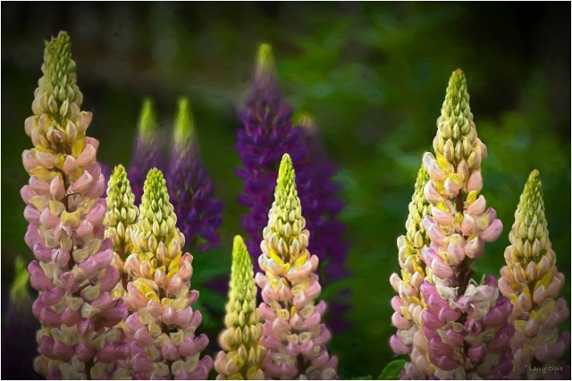 Lupine2 © Larry Citra