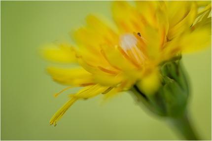 Mountain Dandelion © Larry Citra