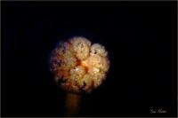 Orange Plumose Anemone- Gary Hardaker