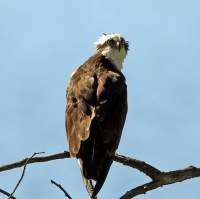 Osprey With Attitude - Doug Boyce