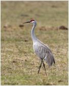 Sandhill Crane_DSC3947 - Bill Melnychuk