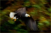 Scavenger Hunt@13 - Movement - DMHopp - Bald Eagle