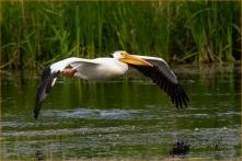 Scavenger Hunt #21 - Bird in Flight - American White Pelican