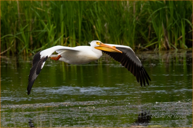 Scavenger Hunt #21 - Bird in Flight - American White Pelican