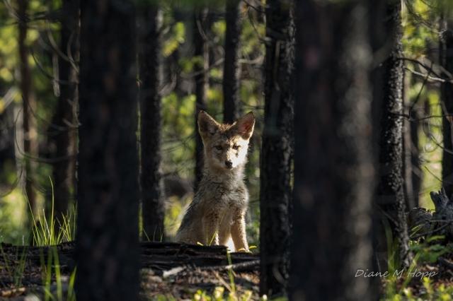 Scavenger Hunt #30 - Curosity - Coyote Pup - DMHopp-1