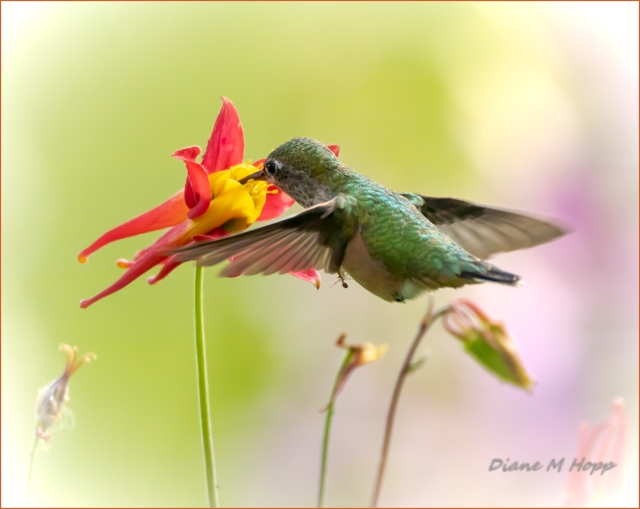 Hummingbird with Passenger - DMHopp