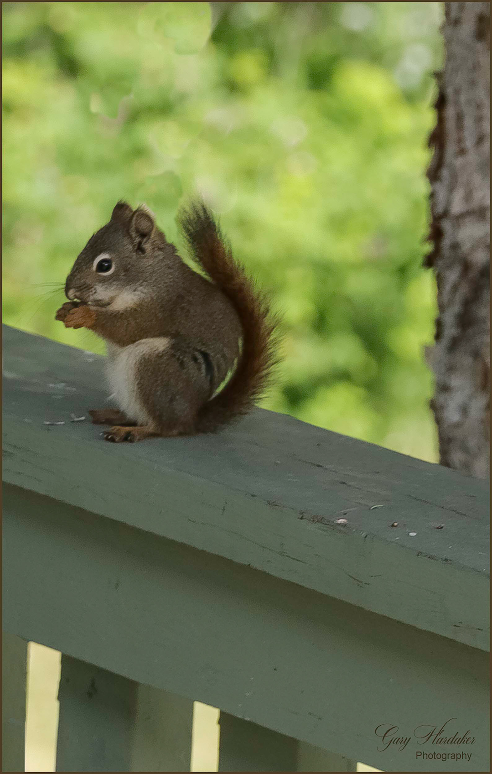 Squirrel dining on bird seed- Gary Hardaker