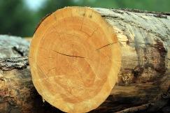 Tree Rings 36 Doug B