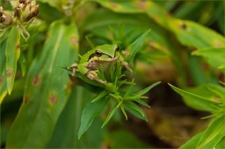 01 Closeup of living frog _WGP1761-102 - Gloria Melnychuk