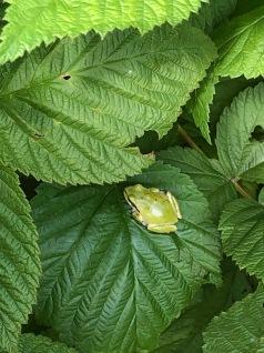 #1 Closeup of Living Frog (Hiding Amongst the Raspberry Leaves) - Derek Chambers IMG_3145
