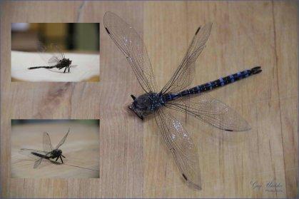 #19 Bug (Dragonfly)- Gary Hardaker