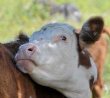 2 Cows eye Monika Paterson