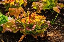 28-Veggie Garden_CJJ-2