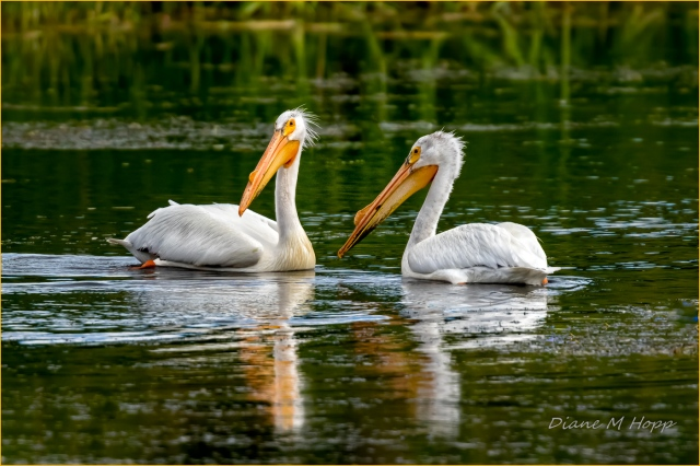 A Pair of Pelicans - DMHopp