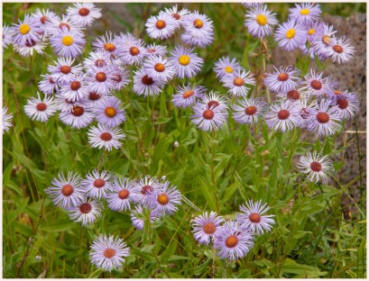 Purple Asters - Nemiah Valley - AMBrown
