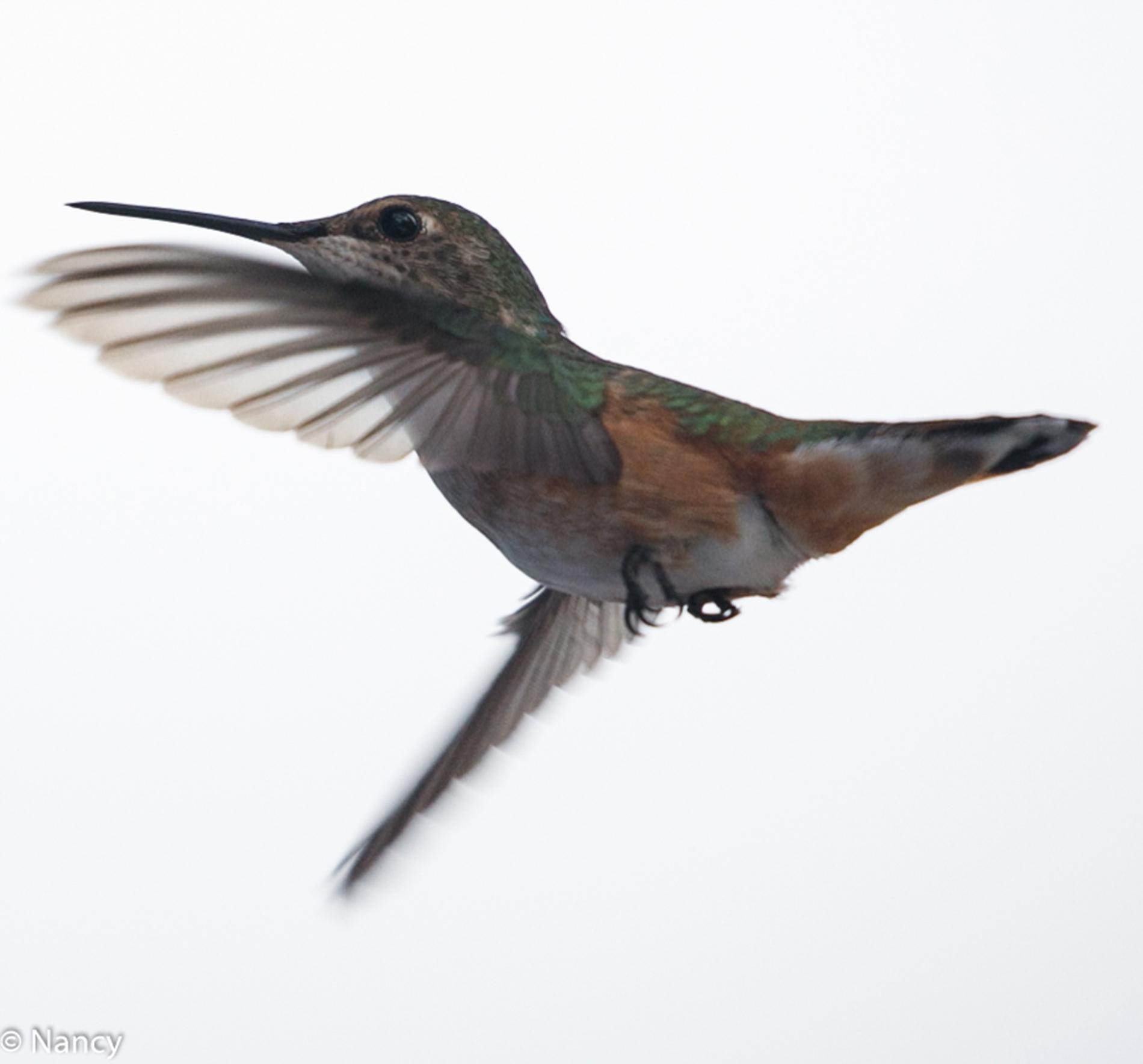 Calliope Hummingbird - Nancy Cunningham
