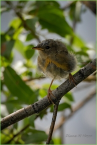 Juvenile Yellow Breasted Chat at Scout Island - DMHopp