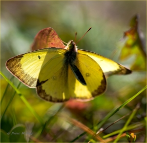 Yellow Butterfly at Bull Canyon - DMHopp