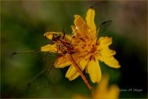 Dragonfly at Bull Canyon Park - DMHopp