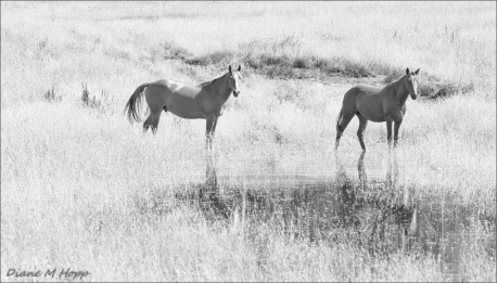 Not so Wild Horses - DMHopp