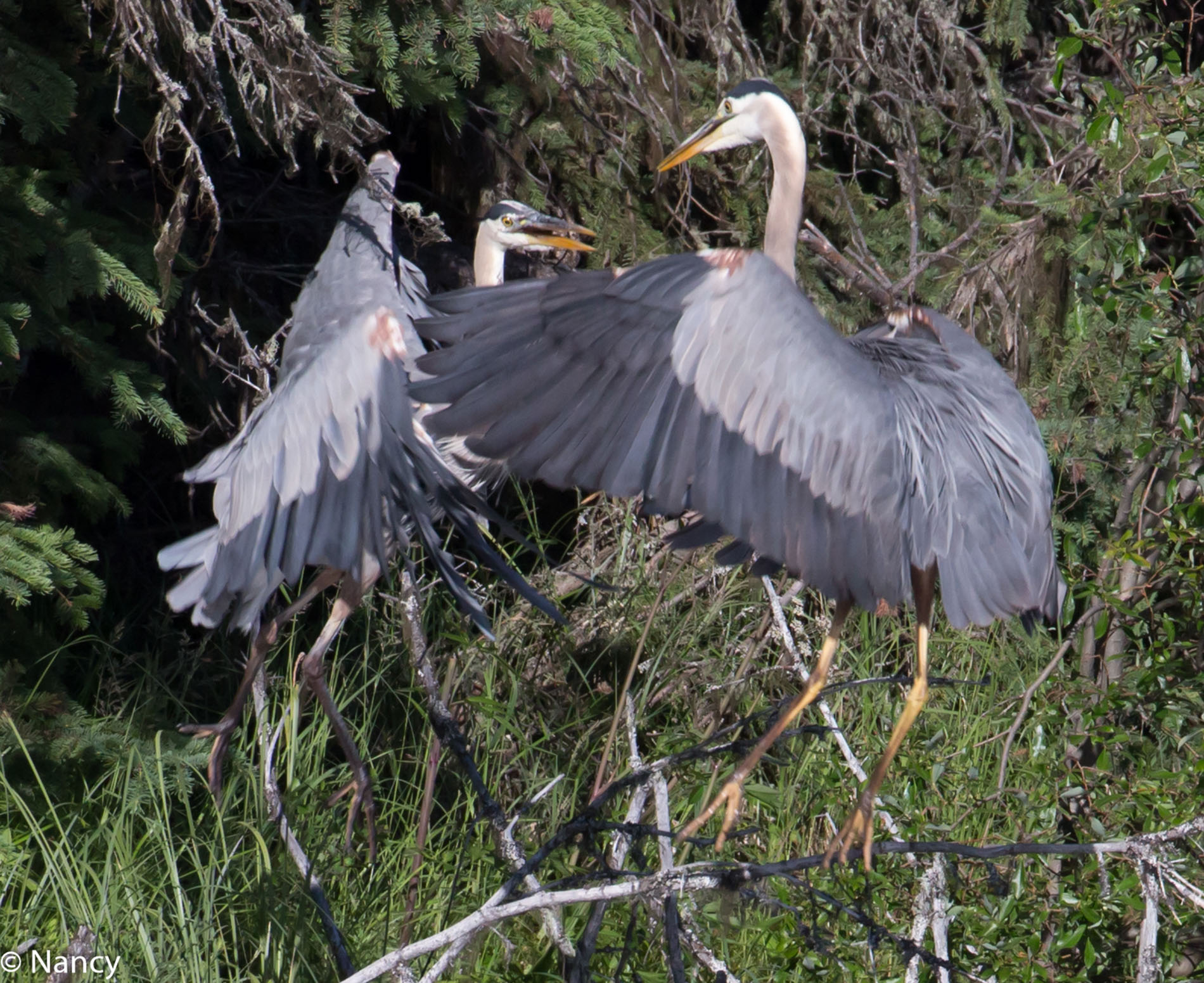 Great Blue Herons Fighting - Nancy Cunningham