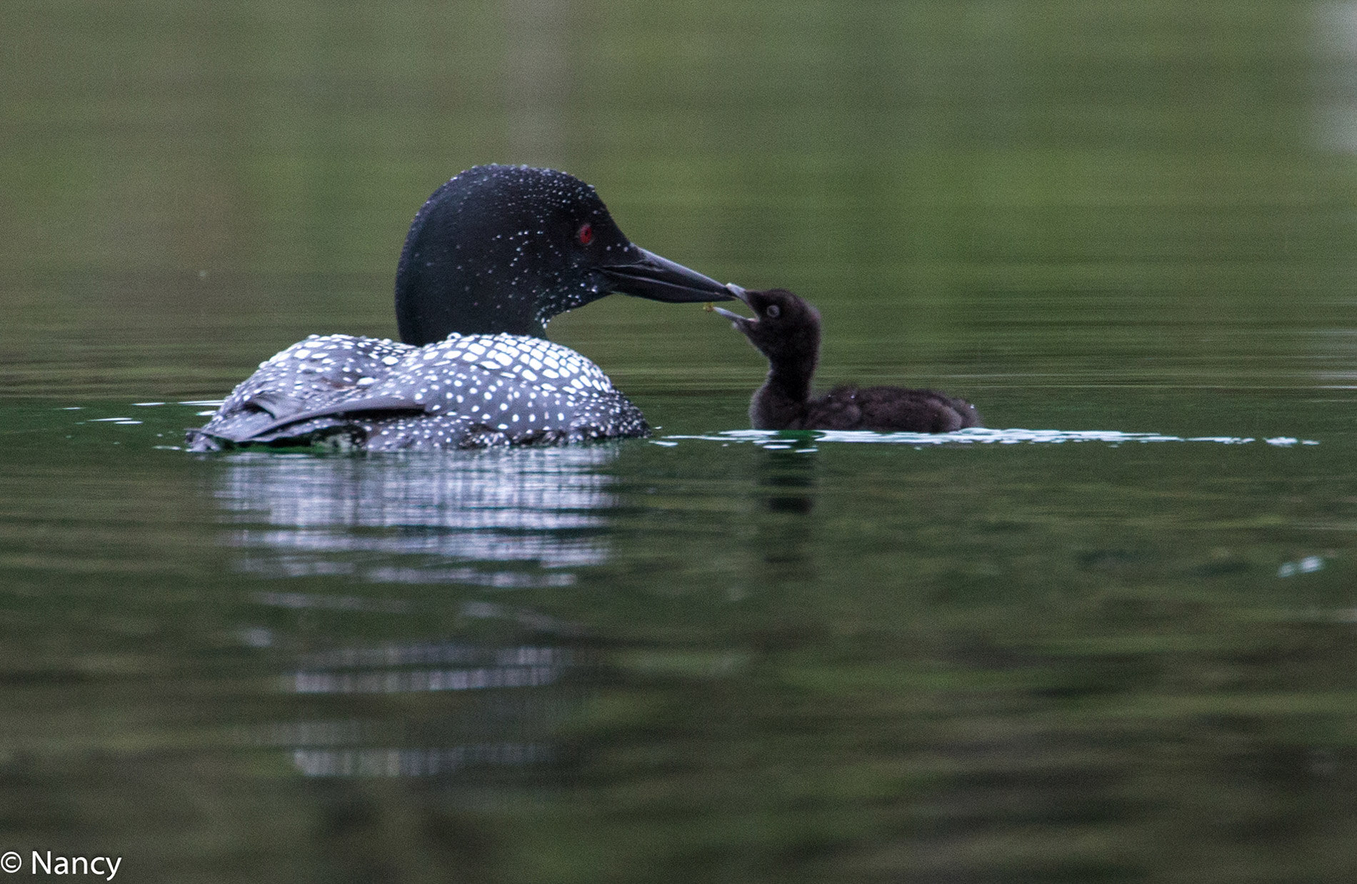 Loon Feeding Time- Nancy Cunningham