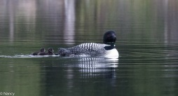 Loon with new babies - Nancy Cunningham