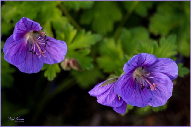 Meadow Geranium- Gary Hardaker