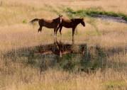 Horses At Tommy's Garden, Nemaiah Valley - Nancy Cunningham