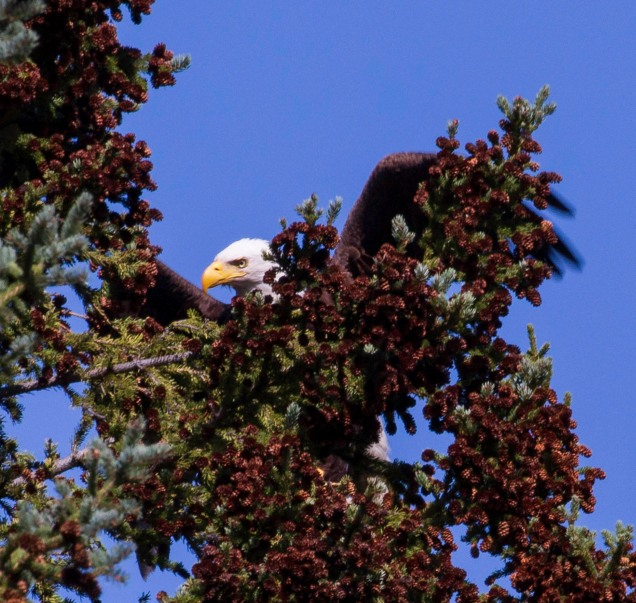 Bald Eagle Leaving - Nemaiah Valley - Nancy Cunningham