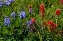 Nootka Lupine with Indian Paintbrush- Gary Hardaker