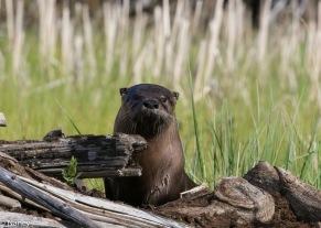 Otter - Nancy Cunningham