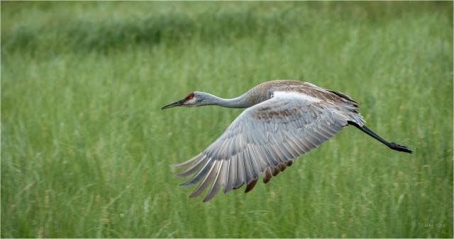 Sandhill Crane © Larry Citra