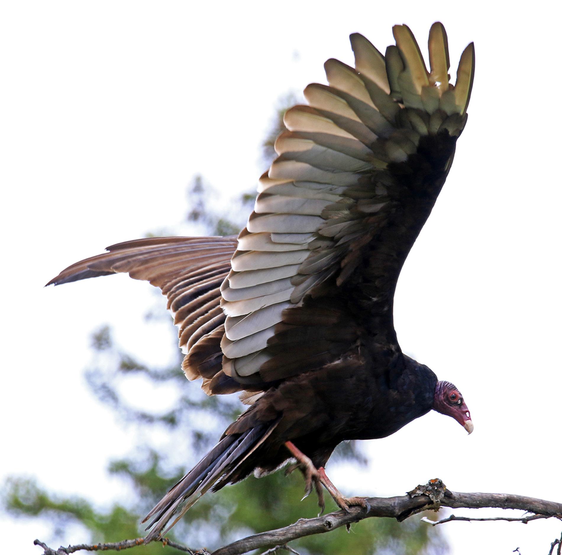 Vulture - Doug Boyce