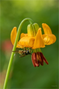 Wasp and Tiger Lily © Larry Citra