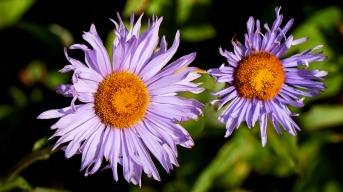 Purple Asters - Wells Gray Park - Trophy Mountain Meadows - Wolfgang Viertel