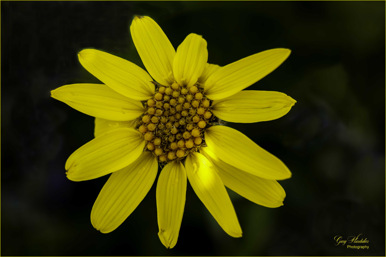 Yellow Aster (Trophy Mountain)- Gary Hardaker