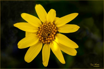 Yellow Aster (Trophy Mountain)- Gary Hardaker