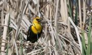 Yellow headed blackbird- Nancy Cunningham