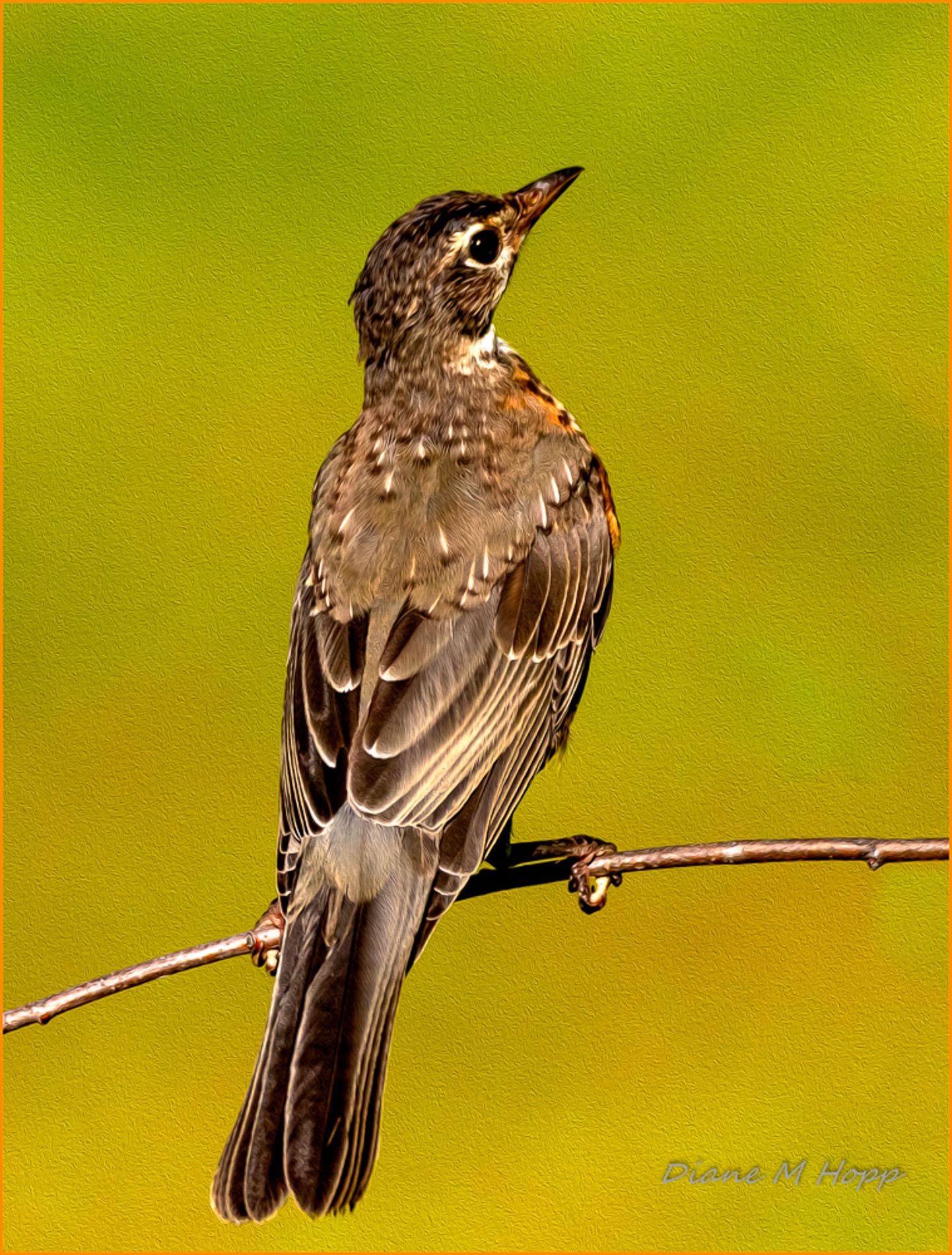 Young American Robin - DMHopp-1
