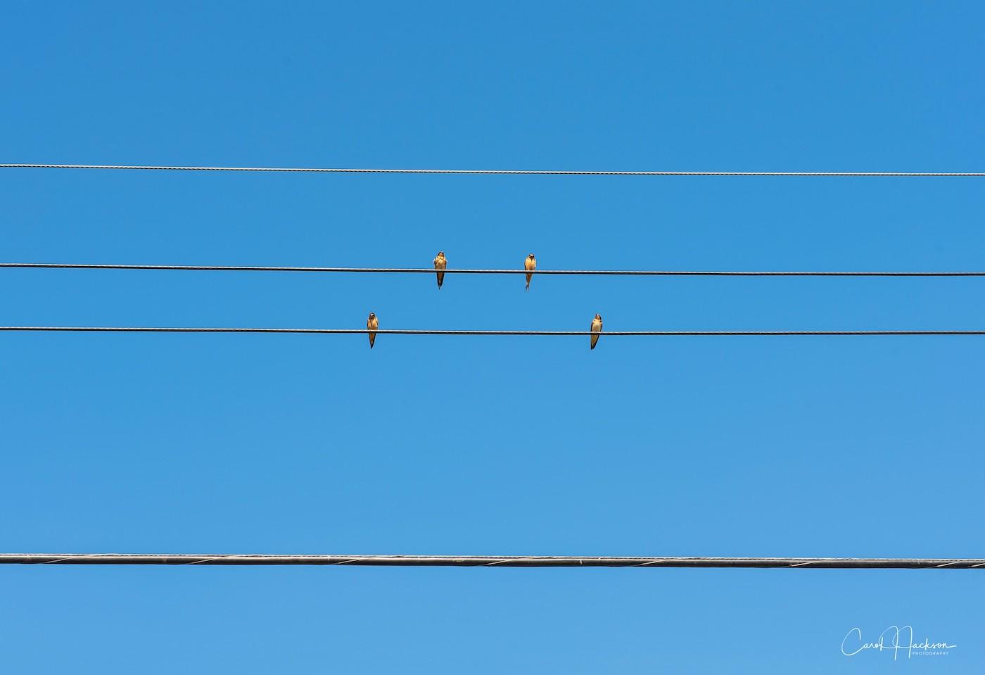 Birds-On-A-Wire-CJJ