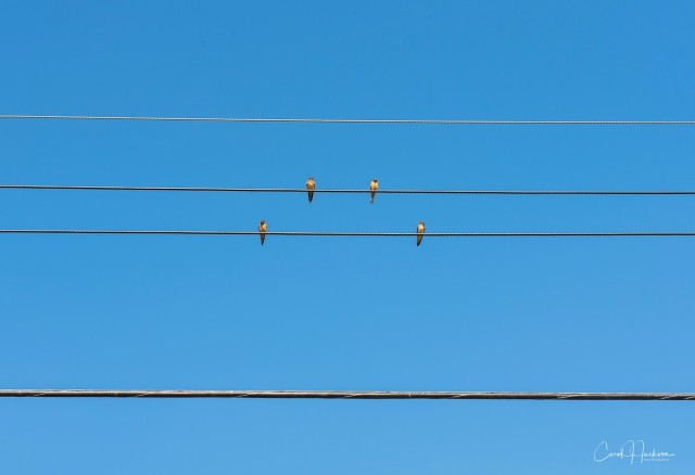 Birds-On-A-Wire-CJJ