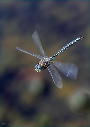 Dragonfly in Flight - DMHopp