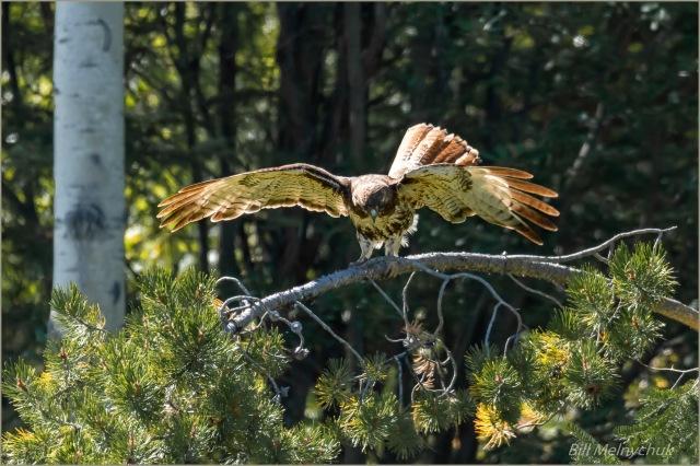 Hawk_GMP8805-050 - Bill Melnychuk