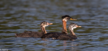 The Grebe Family -Nancy Cunningham