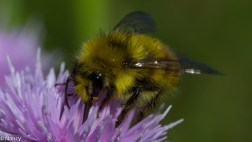 The Bee and the Thistle -Nancy Cunningham