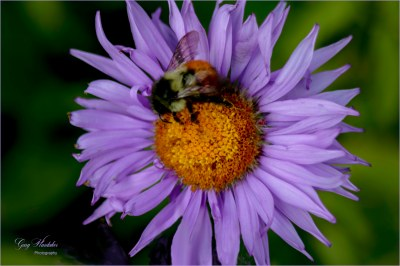 Purple Aster with bee- Gary Hardaker